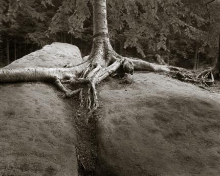 Birch on the Rocks