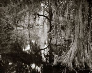 Lowcountry Cypress