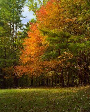 Oak Among Pines Skyline Drive