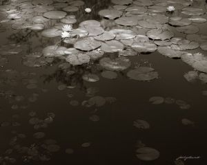 Pond Lillies at the Edge of Shadows