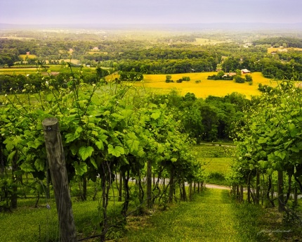 Walk Among the Vines Bluemont Vineyard